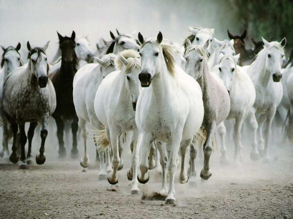 http://1.bp.blogspot.com/-zBl7Hxyl9MY/T591JarojOI/AAAAAAAAEWU/Uhj2gan1UyU/s1600/white-horse-hd-wallpapers-07.jpg