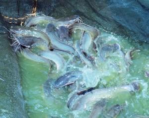 Tips mencegah ikan lele stres