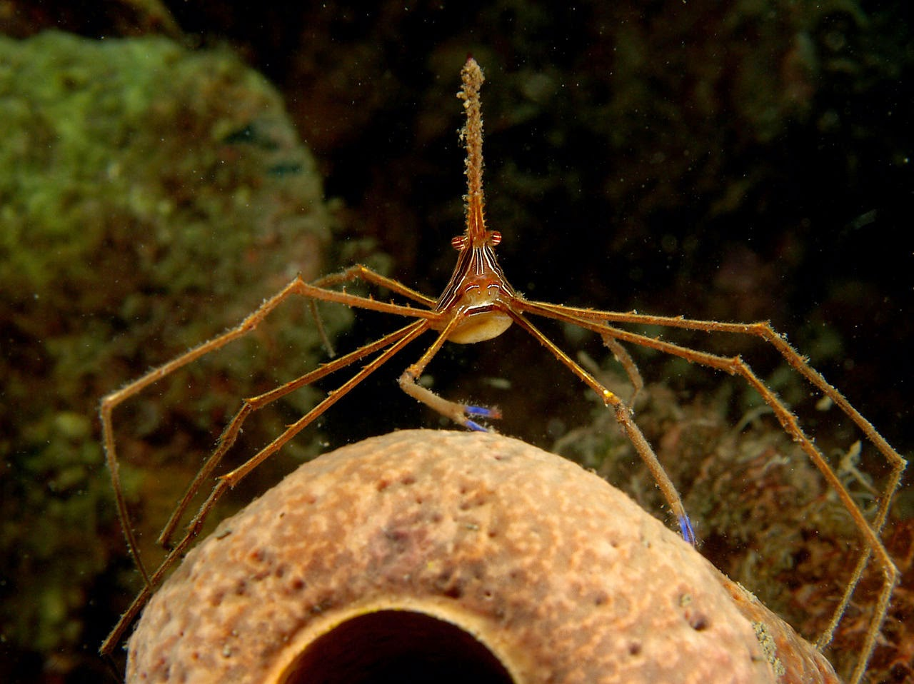 Image showing an arrow crab (Stenorhynchus seticornis)