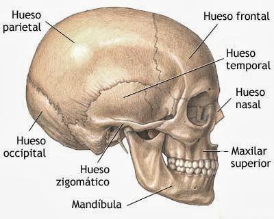 cr u00e1neo  mand u00edbula  articulaci u00f3n temporomandibular y m u00fasculos de la cabeza Skull Bone Diagram Labeled Skull Bone Diagram Labeled
