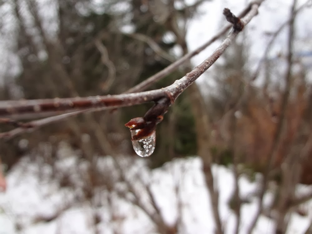 A frozen rain drop on a branch in the woods.