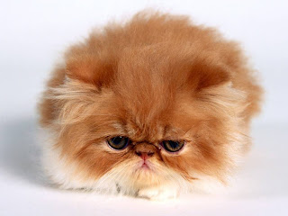 cat animal wallpaper kucing little cute angora persian species