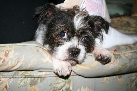 Shih Tzu Terrier Mix Brown Northeast boston terrier