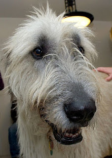 Irish Wolfhound by Jess and Colin