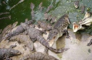 Cocodrilos y caimanes