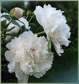 Os Cravos... Flores... Cravos...