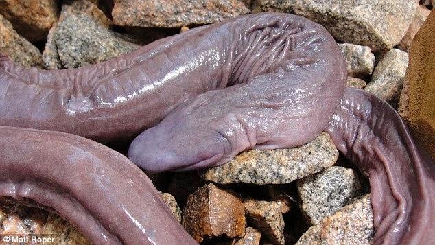 Unik! Penemuan Spesies Baru Berbentuk Seperti Alat Kelamin Pria