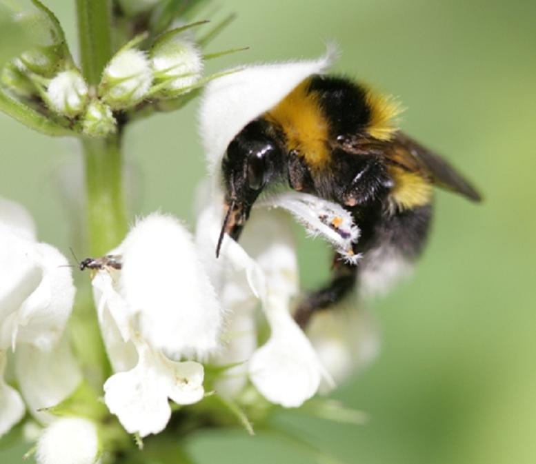 Bumble Bee on White Dead Nettle