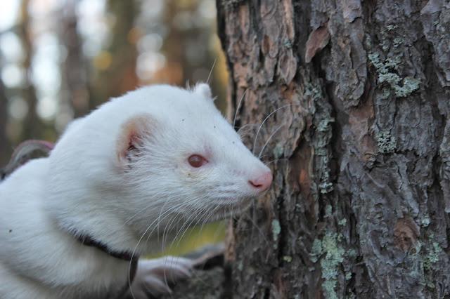 albiino+fretti+ferret