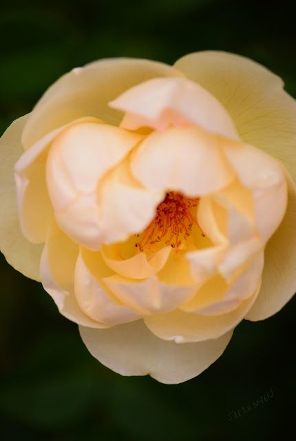 rose, rosebud, sarah myers, photography, photograph, heart, center, centre, nature, plant, flower, garden, beauty, flores, rosa, macro, close-up, bright, brilliant, hybrid, petals, stamens, open, simple, white, cream, ivory