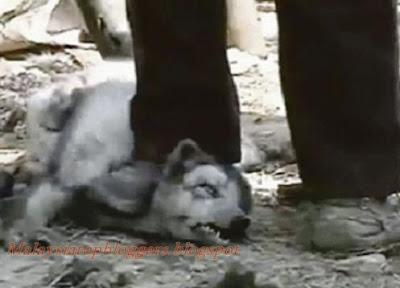 Kulit Anjing Disiat Hidup Hidup