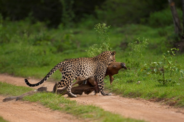 Leopard hunting in India's Bandipur Tiger Reserve, leopard caught on camera