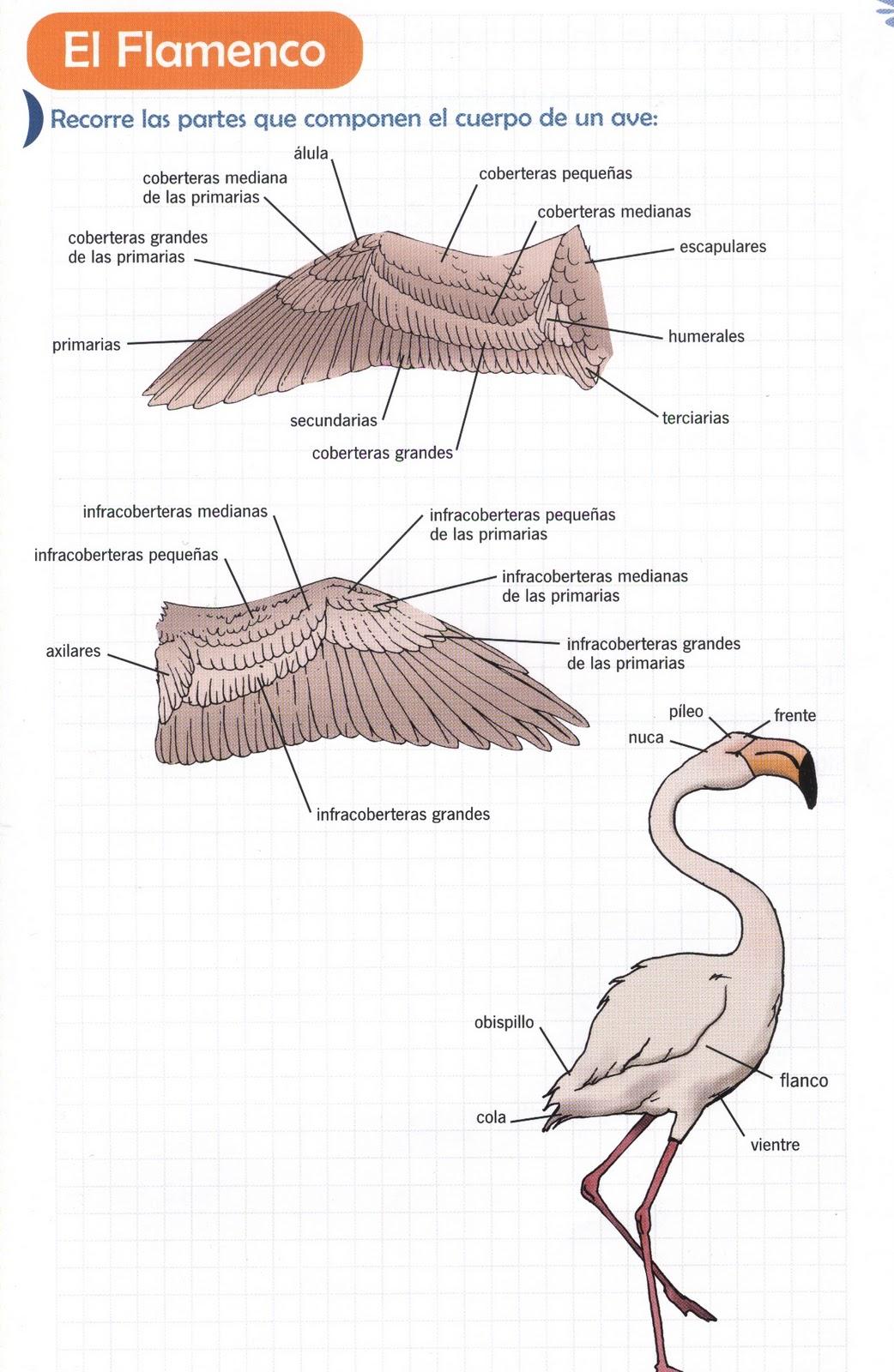 Info animales: ANATOMÍA DE LAS AVES