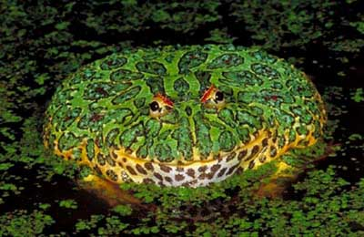 Weirdest Frogs On Earth Ornate Horned Frog