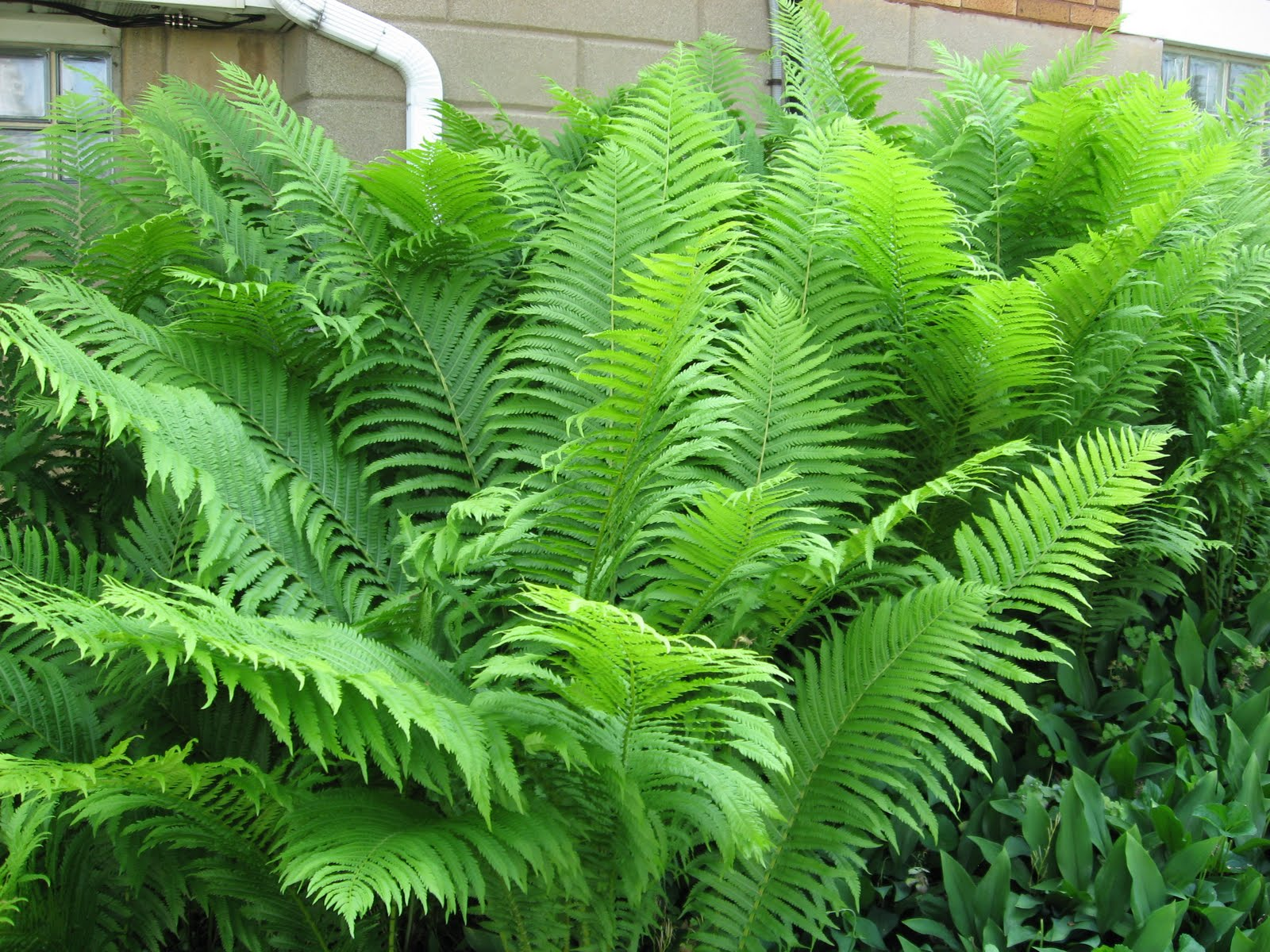 A j rahn greenhouses ostrich ferns for Green plants for landscaping