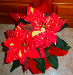 Image Result For Poinsettia In Spanish