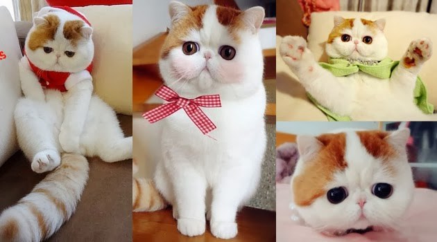 Kucing Berhidung Pesek Mirip Boneka Jadi Selebriti Di