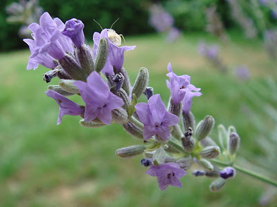 lavender is widely used to beautify gardens and planters as well as being known as a plant with numerous medicinal properties