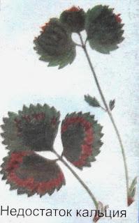 клубника - недостаток кальция