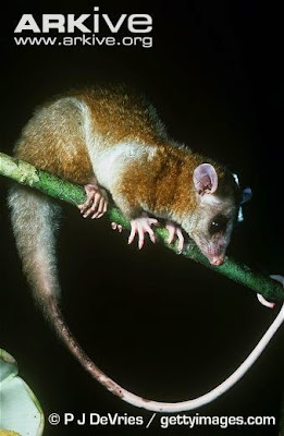 Central American Woolly Opossum