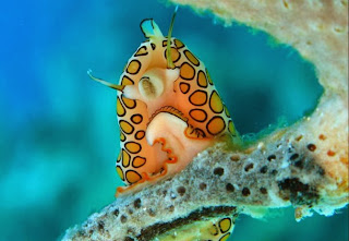 Flamingo Tongue Snail
