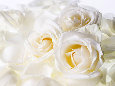 White Roses Flower Wallpaper for Desktop