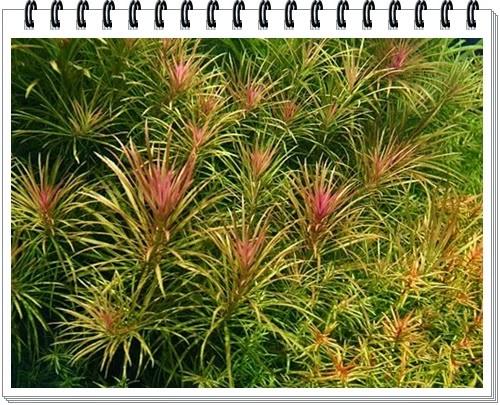 Acuarios leuka plantas para acuario eusteralis stellata for Todo para acuarios