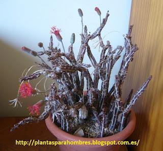 cactus Kleinia Stapeliiformis