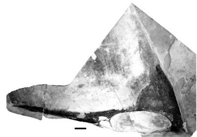 Tupandactylus skull