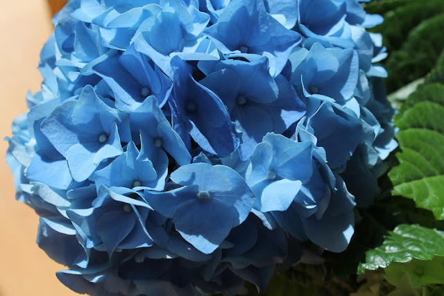 Blue Hortensia 1