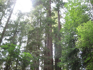 stand of redwood trees