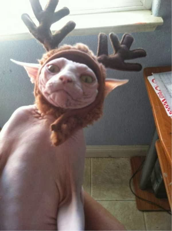 Funny cats - part 81 (40 pics + 10 gifs), cat pics, hairless cat wears reindeer hat