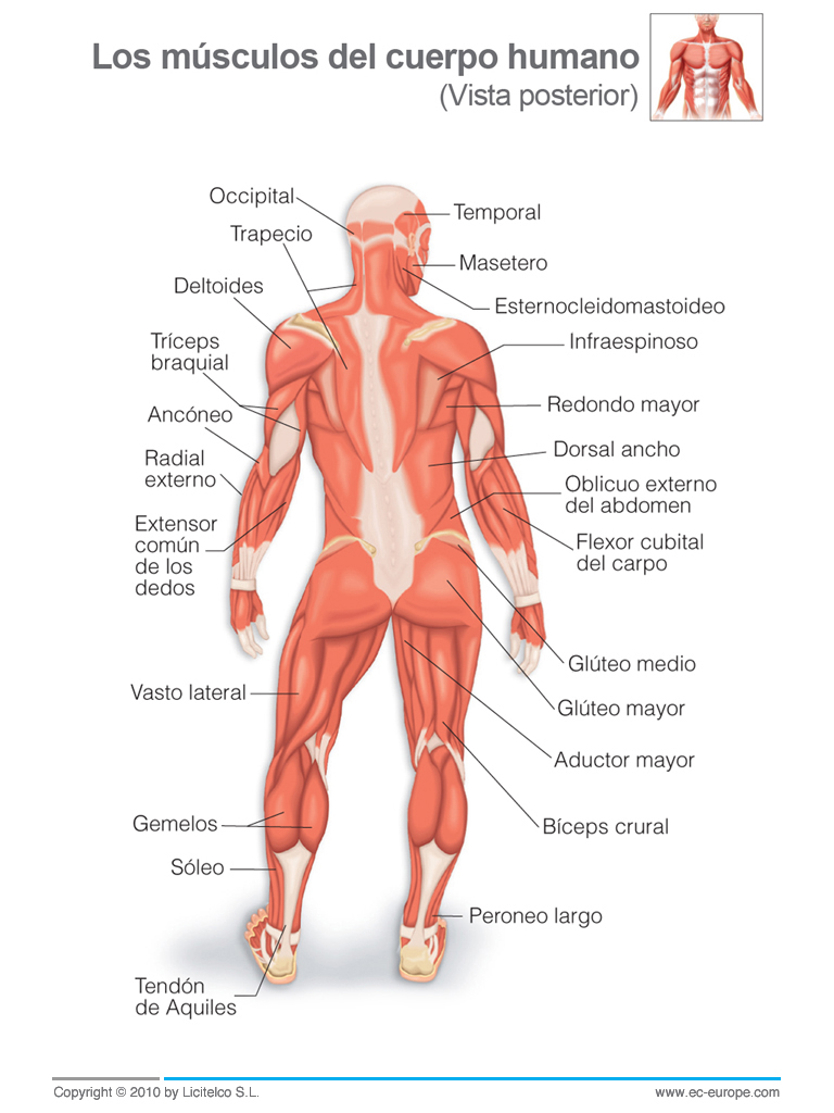 Lujoso Músculos Del Cuerpo Vista Trasera Elaboración - Anatomía de ...