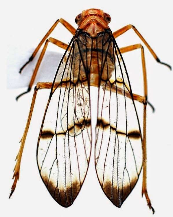 http://sciencythoughts.blogspot.co.uk/2015/01/a-new-species-of-planthopper-from_17.html