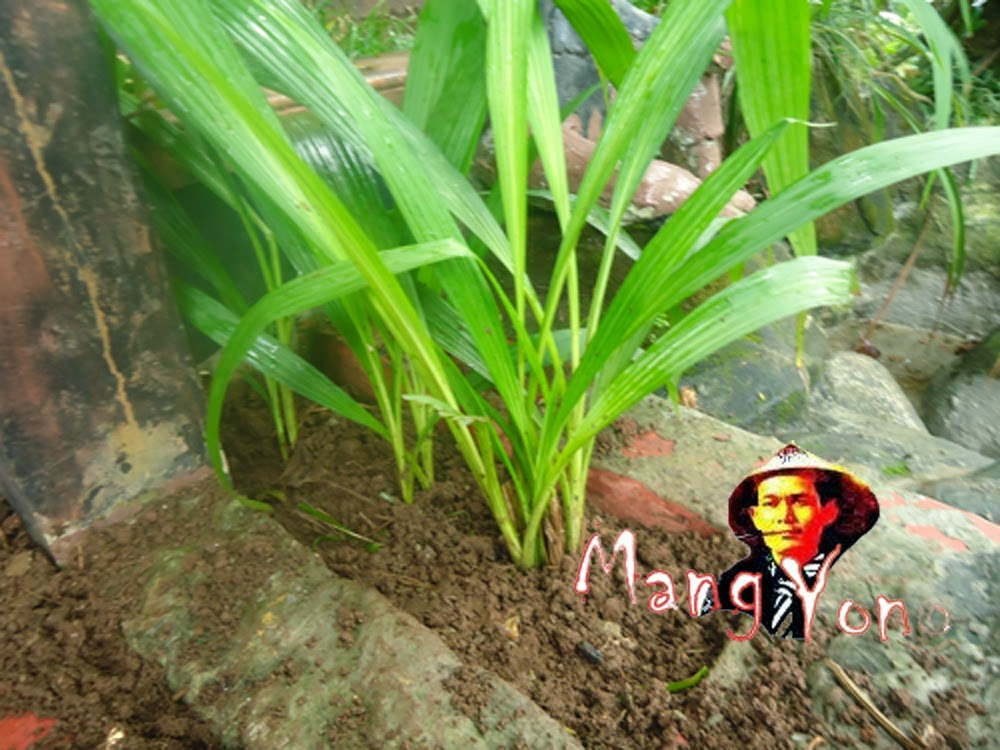 Cara Menanam Bunga Anggrek di tanah atau Pot dengan media Tanah.