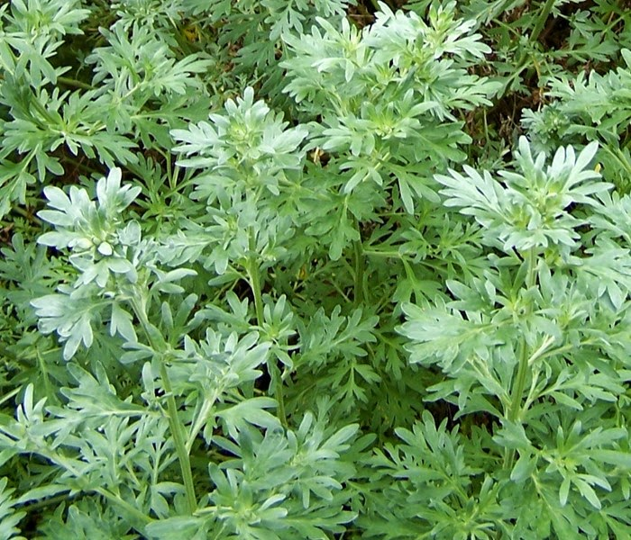 Benefits And Nutrition Of Absinthe (Wormwood) Herb For Health