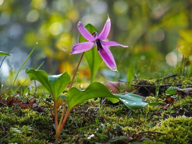 日光が射して来ると花は開き、夕方には閉じてしまう可愛い花である。