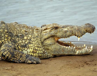 Crocodilos arrastam para água e devoram domador