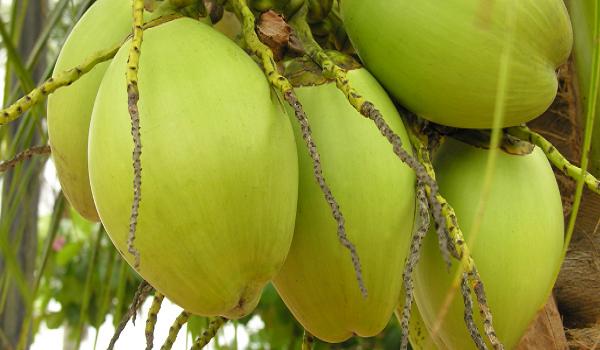 Image buah kelapa