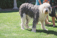 Shannon Hager Photography, Old English Sheepdog, Dog Wash