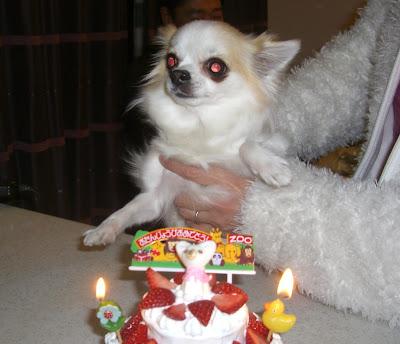 ロングコート チワワ 琴 誕生日 ケーキ