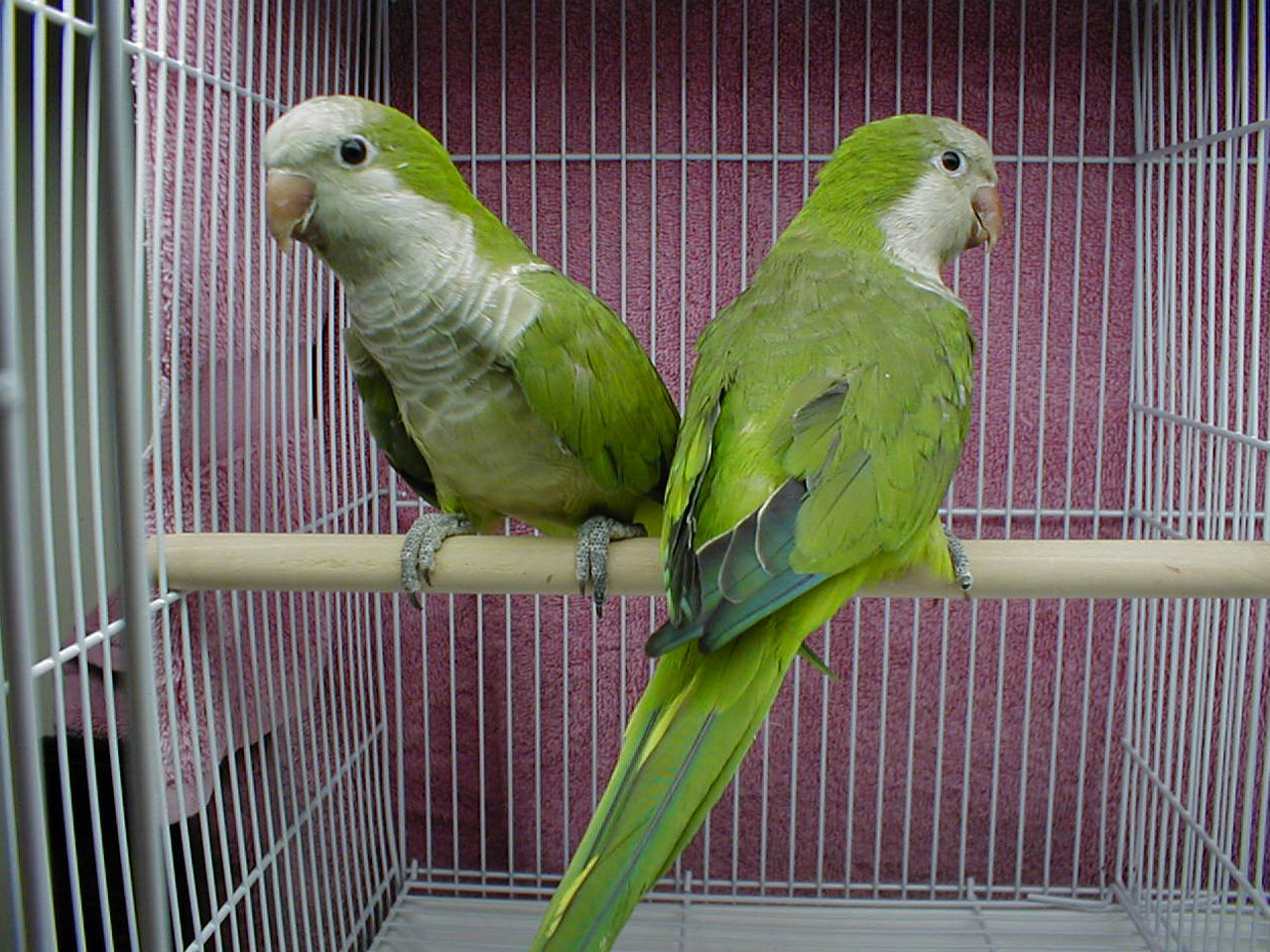 Indian Green Parrot http://afunnyanimal.blogspot.com/2011/08/green-parrot-bird.html