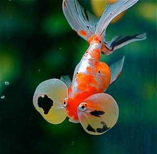 foto ikan mas - gambar hewan - foto ikan mas