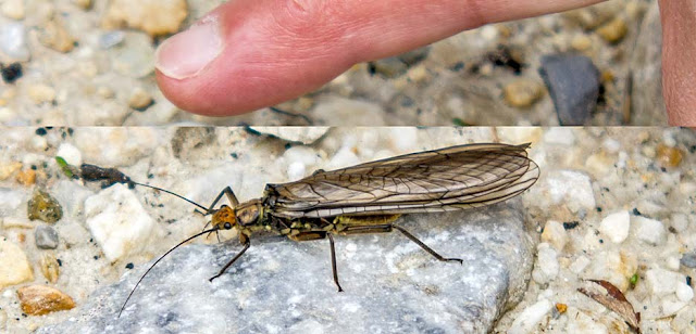 big stonefly