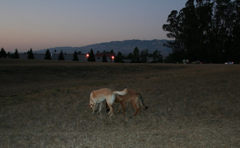 both dogs have their heads down in the dry grass, sniffing the same spot, lights are on on the buildings in the background, and the sky is darkening and tinged with orange