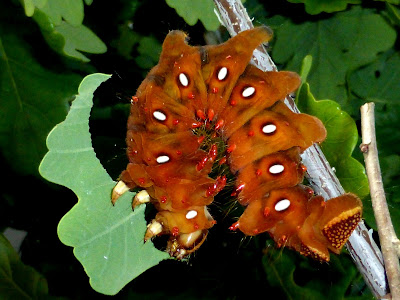 Eacles imperialis anchicayensis caterpillar