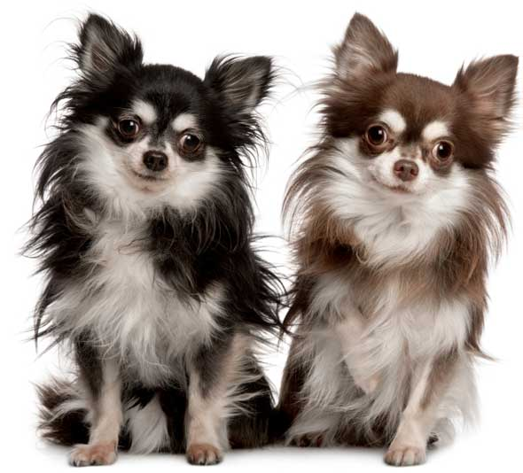 Chihuahua dogs - Foto poile ...