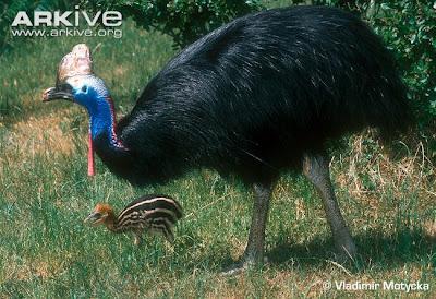 最危險的鳥 澳洲 食火雞