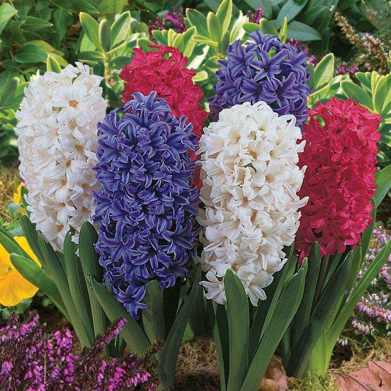 Цветы гиацинты посадка и уход в саду