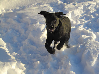Black lab puppy Romero is running happily through fairly deep snow in the backyard. The snow is white and fluffy, but covered in tracks as the dogs have been playing in the yard. In this picture, Romero is mid-jump with his back legs on the ground and is front legs both tucked up to his chest. His mouth is slightly open so he looks like he's smiling, with his tongue and bottom teeth visible. His ears are both flying straight out to the sides, looking almost like little wings.